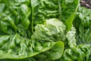 seasonal-gem-lettuce