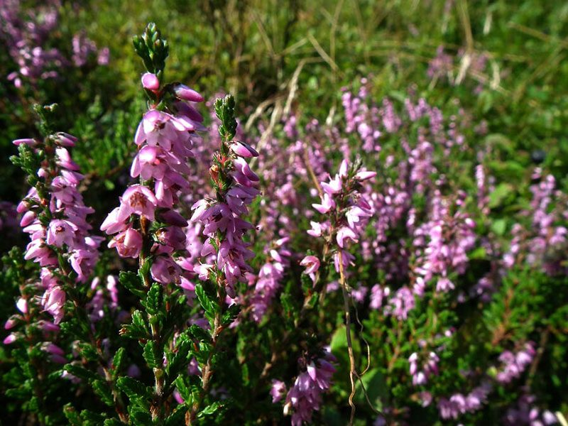 Heather-Flower