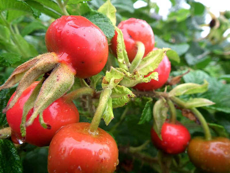 Japanese-rose-hip