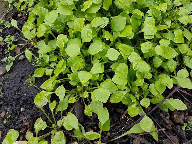Miners-Lettuce
