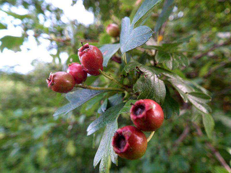hawthorn-berries-ripe