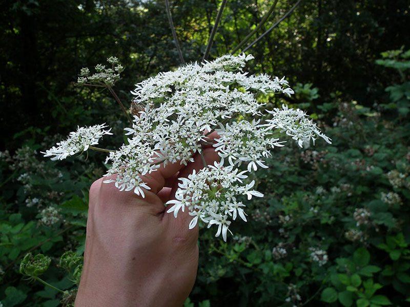 hog-weed-flower